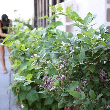 Plant de bleuetier