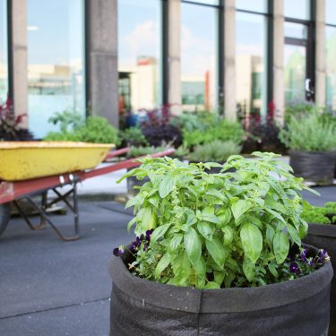Plant de basilic en pot à l'avant-plan; plusieurs pots avec des végétaux sur la terrasse d'un immeuble vitré, avec une brouette jaune à l'arrière-plan.