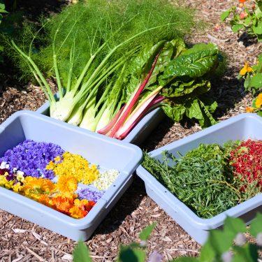Bacs de récoltes remplis de fleurs comestibles colorées, de fines herbes, petits fruits rouges, bulbes de fenouil et bette à carde.
