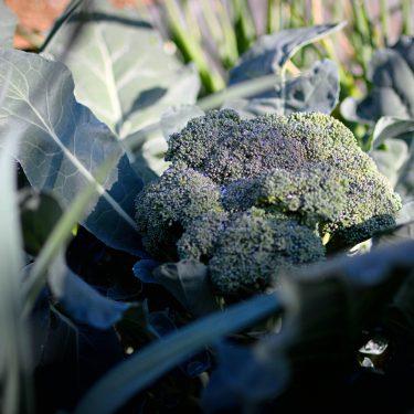 Plant de brocoli prêt à récolter
