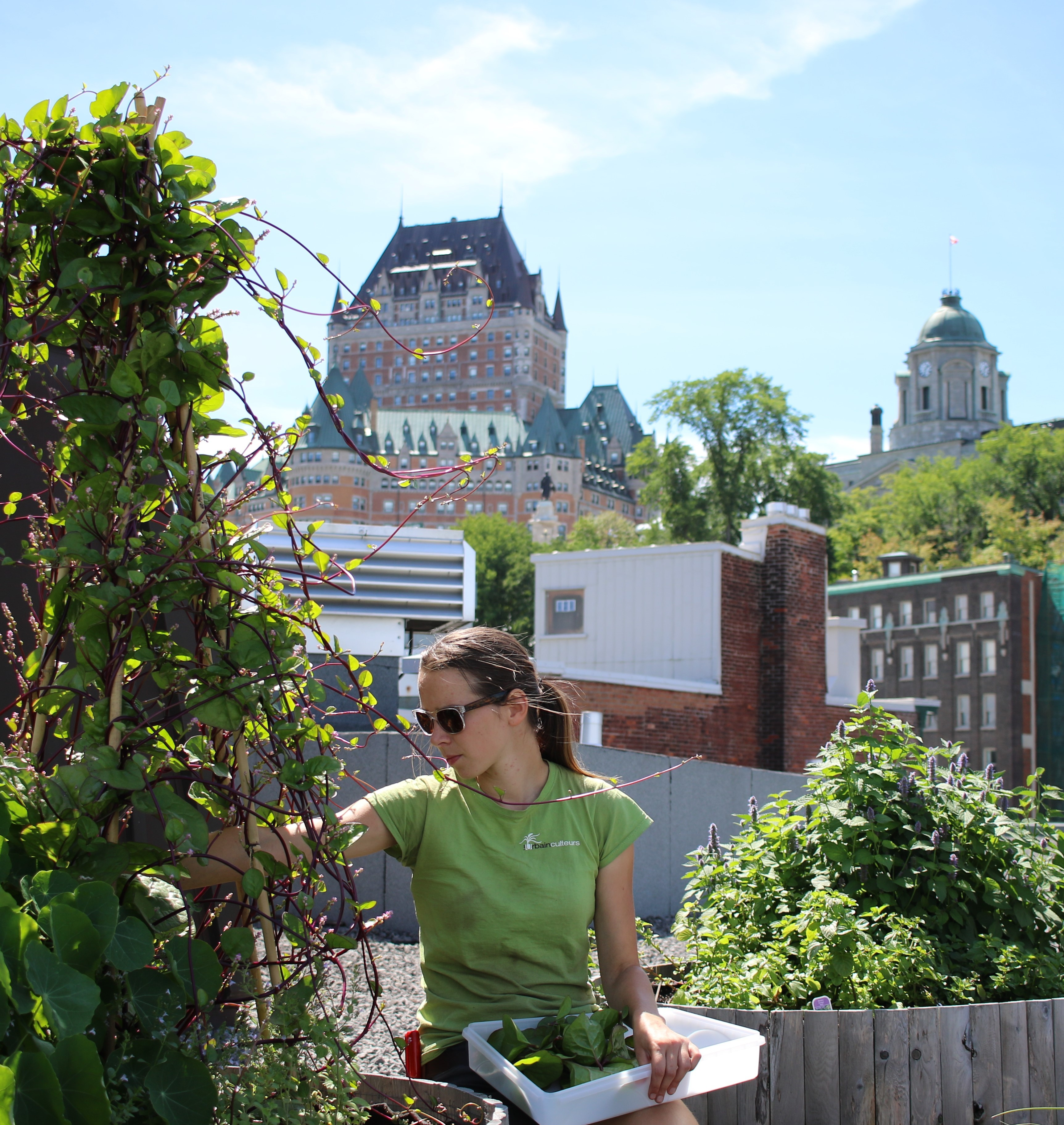 Harvesting spinach on the rooftop of Auberge St-Antoine, view on Château Frontenac