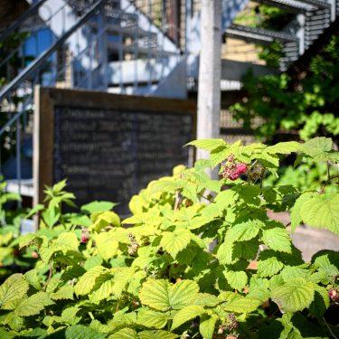 Plant de framboisier, avec une ardoise de restaurant à l'arrière-plan.