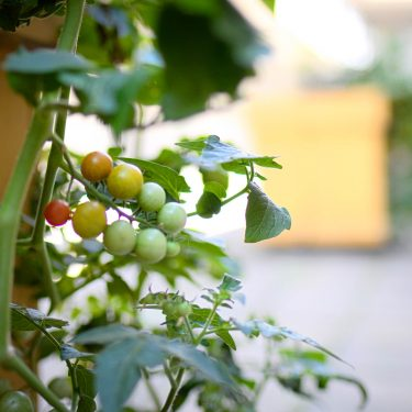 Une grappe de tomates cerises mûrit sur son plant, dans une cour intérieure bétonnée.