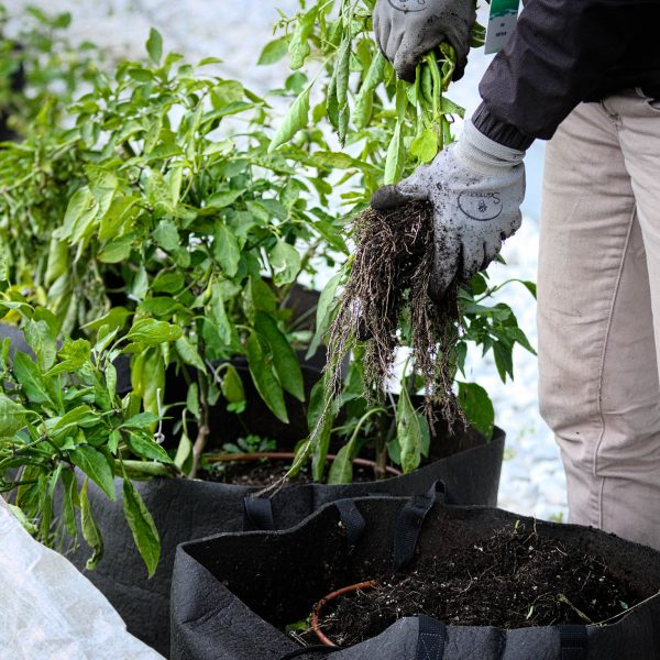 Une horticultrice déracine un plant de poivron. Plusieurs plants de poivrons en déclin sont visibles, plantés dans des pots.
