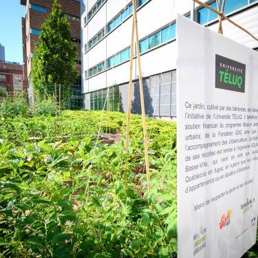 Un jardin potager situé entre divers bâtiments. À l'avant, une pancarte présente qu'il s'agit d'un projet de l'Université TÉLUQ dont les récolte sont remises à SQUAT Basse-Ville.