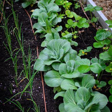 Rangées d'échalotes, de tatsoi et de fraises dans un jardin.