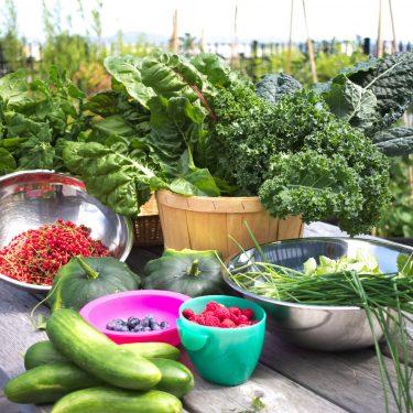 Les récoltes du jour sur une table à pique-nique : concombres, framboises, bleuets, gadelles, kale, bette à carde, ciboulette et pâtissons.