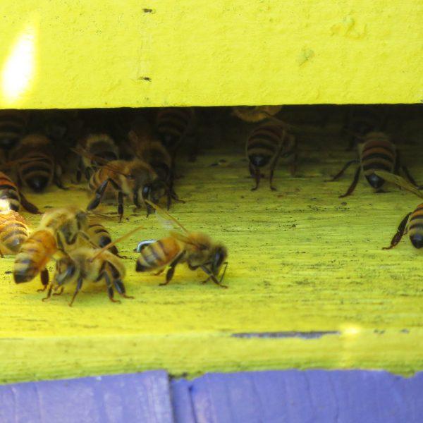 Plusieurs abeilles se pressent à l'entrée d'une ruche