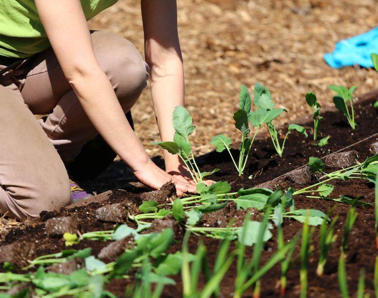 Une personnes accroupie plante une rangée de petits choux-raves.