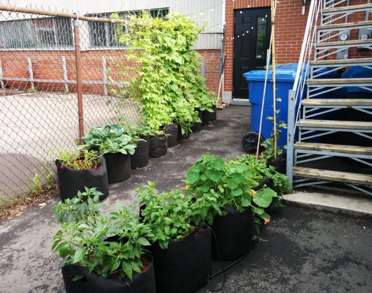 Plusieurs pots contenants des végétaux comestibles verdissent une ruelle derrière un bâtiment de briques.