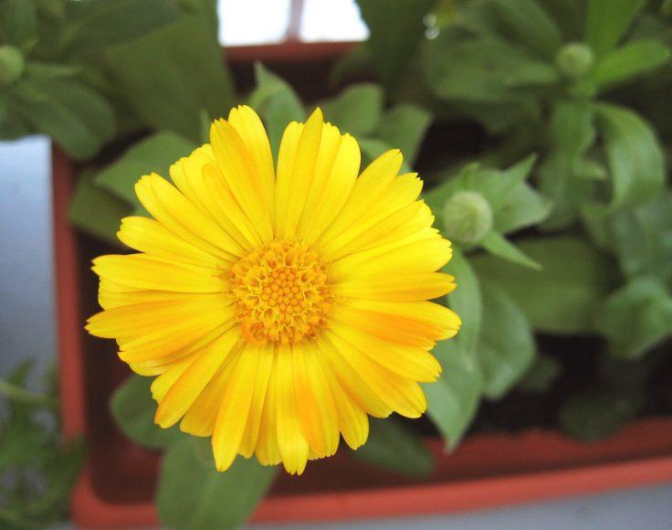 Fleur de calendule