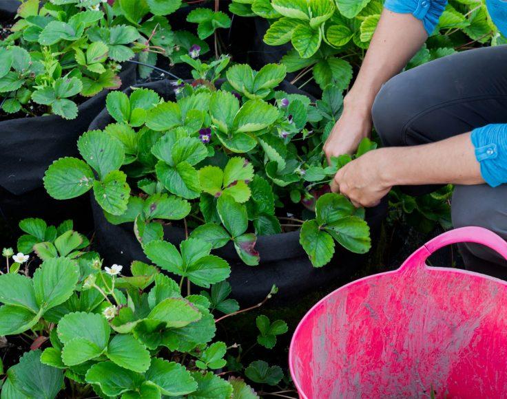 Mains d'une personne qui travaille dans des pots de fraisiers
