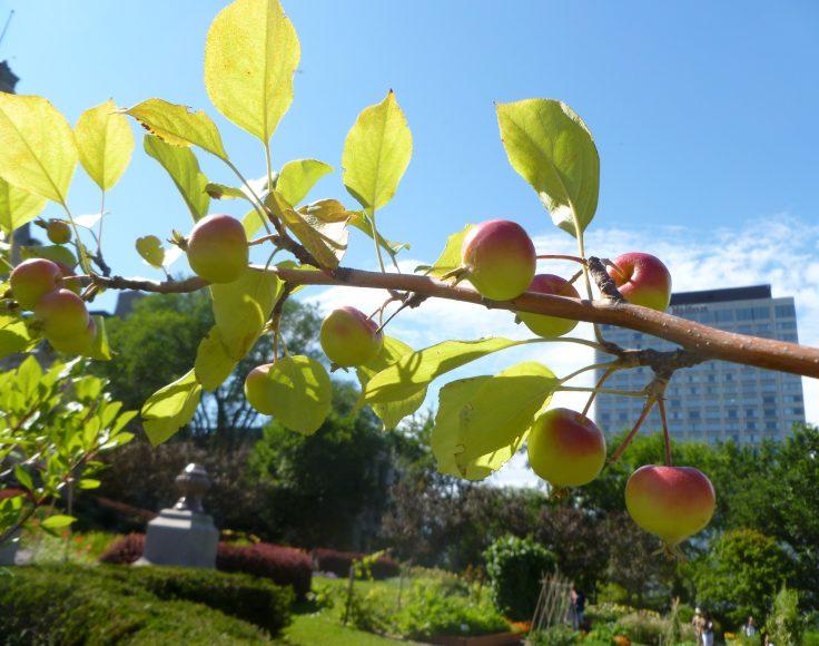 Branche de pommier chargée de fruits. À l'arrière-plan, un building.