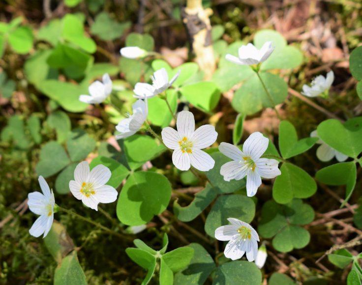 Plants d'oxalide des montagnes en fleurs, sur fond de feuilles mortes