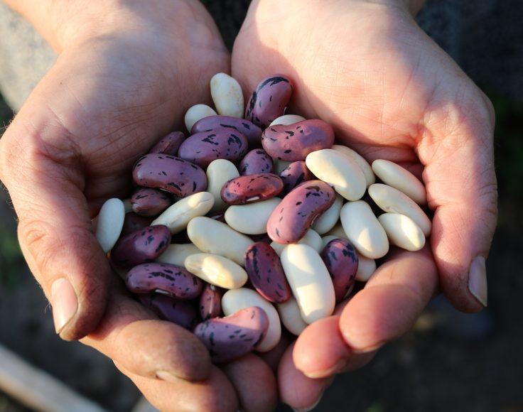 Mains tenant un mélange de haricots secs blancs et rosés