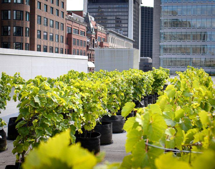 Des dizaines de vignes en pots s'alignent sur le toit d'un édifice au centre-ville.