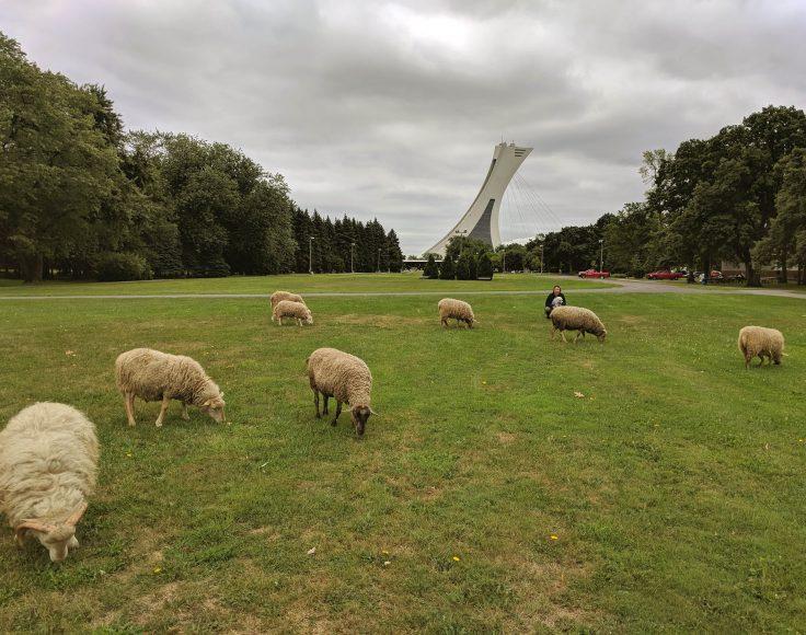 Sept moutons broutent l'herbe d'un parc. À l'arrière, on aperçoit le stade olympique de Montréal.