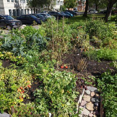 Un jardin communautaire regorge de toutes sortes de végétaux, dont du kale et des tomates. Le jardin est situé juste à côté d'un stationnement.