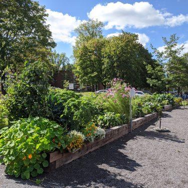 Un jardin communautaire regorgeant de toutes sortes de végétaux, dont des capucines, des tomates, du kale et des cosmos.