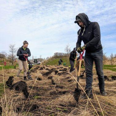 Un horticulteur et une horticultrice creusent le sol avec des pelles afin de retirer des plants de graminées.