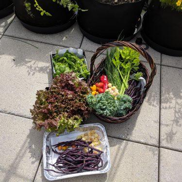 Trois bacs contiennent les récoltes du jour : de la laitue, du kale, des tomates, des haricots, des cerises de terre.