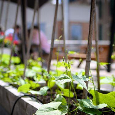 Gros plan sur un plant de haricot qui commence à pousser dans une plate-bande potagère. À l'arrière-plan, de jeunes adultes sont assis à une table à pique-nique.