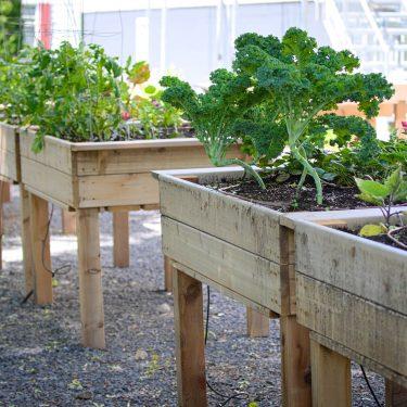 Divers plants de légumes, dont un chou de kale, poussent dans des bacs de culture surélevés en bois.