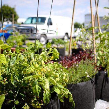 Rangée de pots débordant de fines herbes et de plants de tomates. À l'arrière, on aperçoit l'éconolingue blanche des Urbainculteurs.