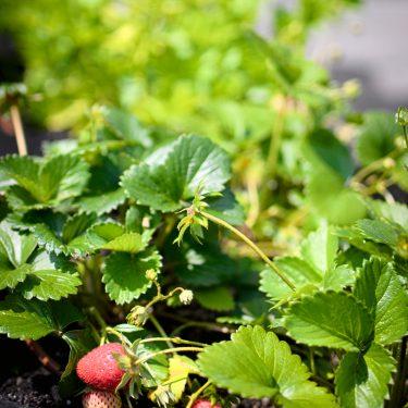 Plants de fraises