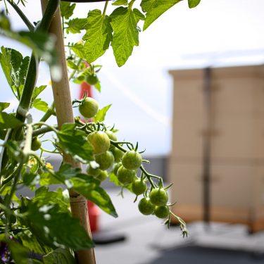 Une grappe de tomates cerises vertes pend devant des ruches.