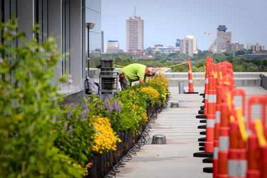 Un horticulteur est penché sur une rangée de pots cultivés, sur une toiture. À l'arrière-plan, on aperçoit des immeubles de la ville de Québec, dont le Concorde.