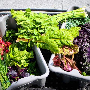 Bacs de récoltes remplis de bette à carde, kale, laitue, fines herbes et fraises.