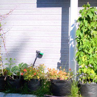 Alignement de pots devant un bâtiment, remplis de végétaux dont des haricots grimpants.