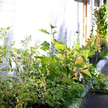 Alignement de pots devant un bâtiment, remplis de végétaux dont un plant de tomates cerises.