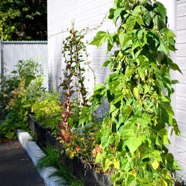 Un alignement de pots devant un bâtiment regorge de plantes vertes, dont des haricots grimpants.