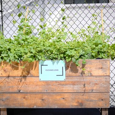 """Un bac de bois identifé avec une pancarte """"Cucamelons"""" permet aux plants qui s'y trouvent de grimper sur la clôture métallique à l'arrière."""
