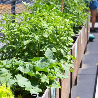 Une rangée de bacs de bois longe une clôture métallique. Divers végétaux s'y épanouissent, dont des concombres et des tomates.