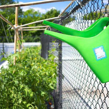 Deux arrosoirs sont accrochés à une clôture métallique. À l'arrière, des plants de tomates et d'autres végétaux poussent dans de grands bacs.