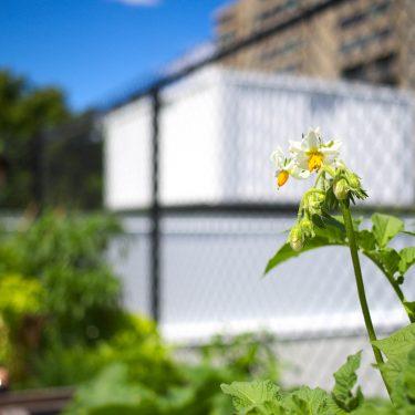 Gros plan sur une fleur de patate. À l'arrière, une clôture métallique et un immeuble.
