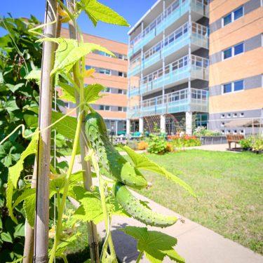 Deux cornichons pendant d'un plant grimpant dans une cour. Un bâtiment de quelques étages forme l'arrière-plan.