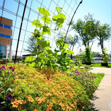 Un plant de courge grimpe dans un treillis métallique, derrière de petits buissons de fleurs. On aperçoit un bâtiment à l'arrière.