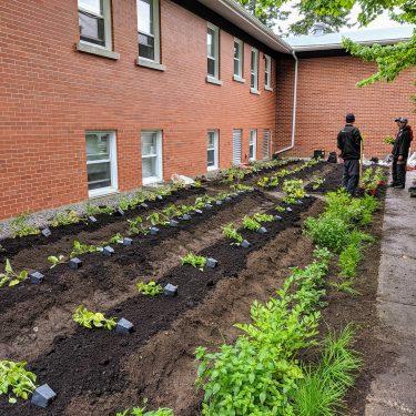 De jeunes végétaux dans leur godet de plastique sont disposés le long de rangs de jardin où ils seront plantés.