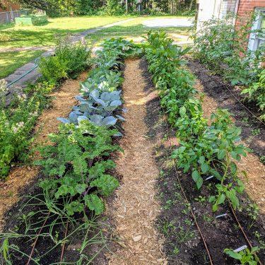 Un jardin à quatre rangs est en pleine croissance derrière un bâtiment de brique rouge.