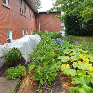 Un jardin à quatre rangs est en pleine croissance derrière un bâtiment de brique rouge. L'une des rangées est recouverte par un agrotextile blanc.