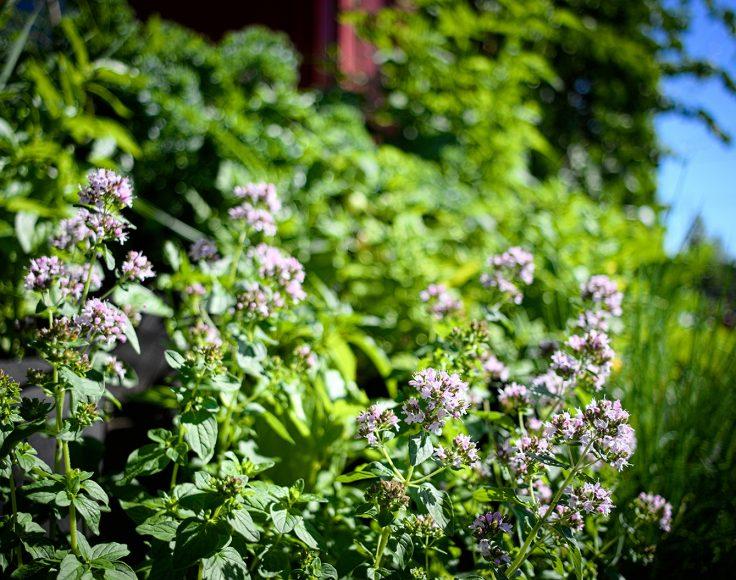 Des feuillages verts de différentes textures poussent les uns à côté des autres. Au premier plan : des fleurs d'origan.