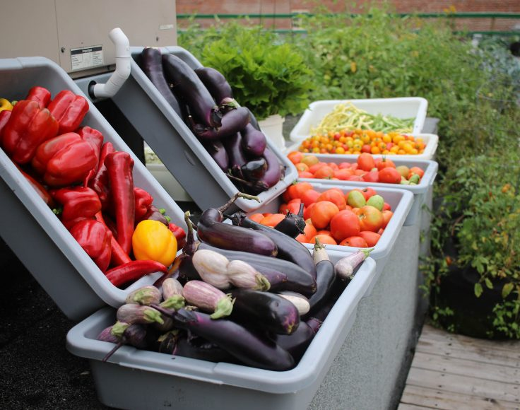 Alignement de bacs de plastique contenant des légumes frais : aubergines, poivrons et tomates