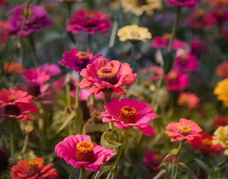 Des dizaines de zinnias de plusiueurs couleurs poussent dans un champs.