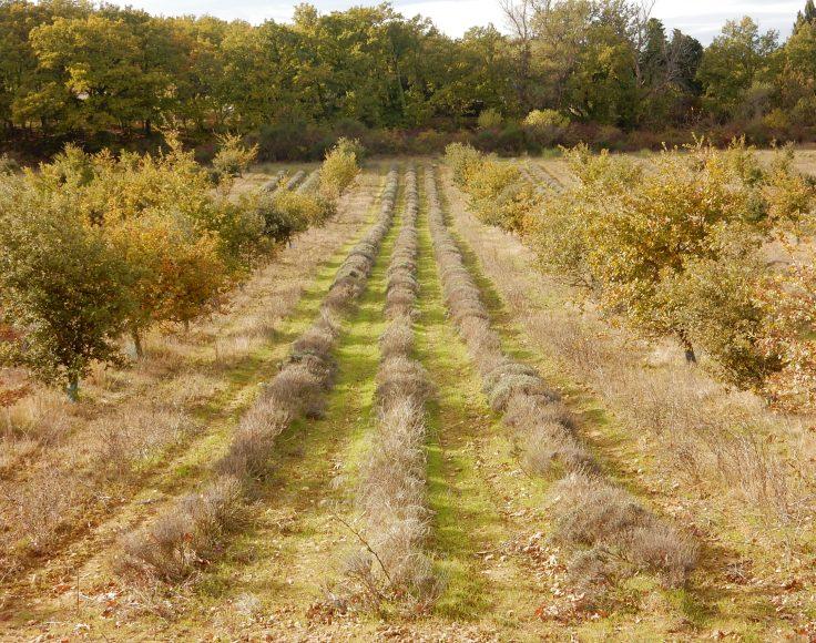 Deux rangées de petits arbres encadrent des rangs de lavande