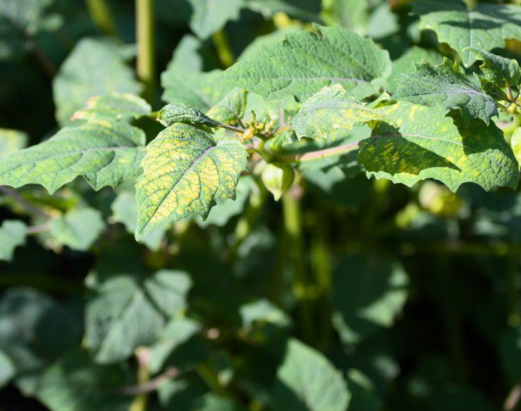 Gros plan sur le feuillage d'un plant de cerises de terre, qui présente une décoloration jaune entre les nervures.