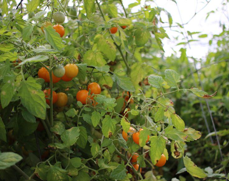 Plant de tomates cerises remplis de petites tomates orangées